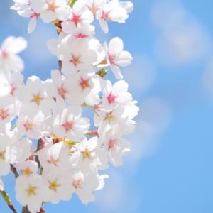 関西のお花見桜おすすめ10を厳選!名所から穴場まで開花時期、見頃情報も