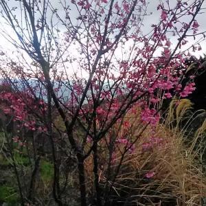 桜と万葉の湯と体重