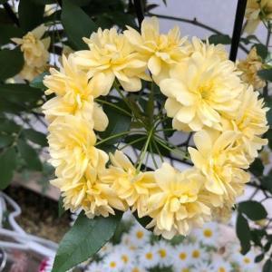 モッコウバラの咲き方