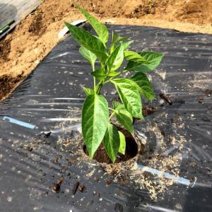 苗植えつけと、種まき