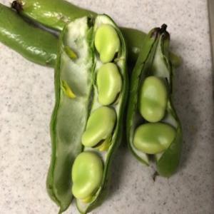 ソラマメ少し収穫