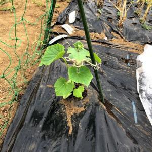 ニンニク収穫と、作業。