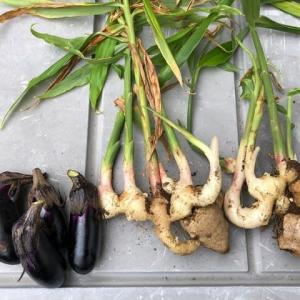 新生姜収穫と、茄子片付け
