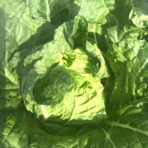 白菜初収穫