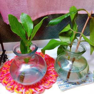 ローリエ・月桂樹とレモンマートルの水挿しのその後③