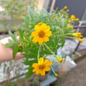 レモンマリーゴールドの花が可愛くて