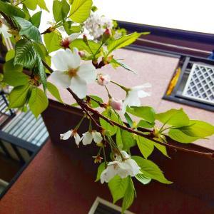 独占花見と満開パンジービオラ