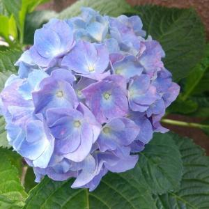 紫陽花と今年もルリマツリハンギング始めました♪