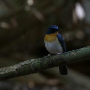 ノドアカヒメアオヒタキ(Tickell's Blue Flaycatcher)