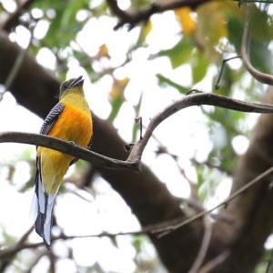 ヤマキヌバネドリ(Orange-breasted Trogon)