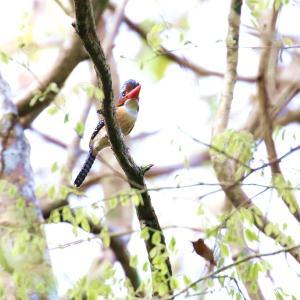 カザリショウビン(Banded Kingfisher)