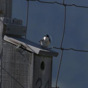 ミドリツバメ(Tree Swallow)