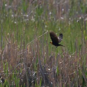 キガシラムクドリモドキ(Yellow-headed Blackbird)