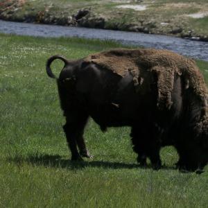 イエローストーンのアメリカバイソン(American Bison)