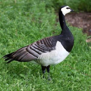 カオジロガン(Barnacle Goose)