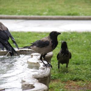 ズキンガラス(Hooded Crow)