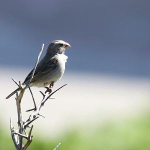 ノドジロカナリア(White-throated Canary)