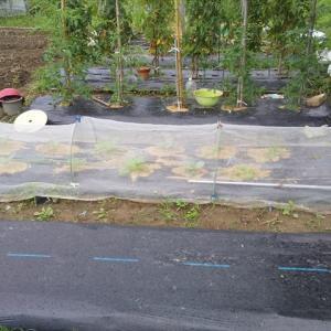 SF 共同畝にキャベツ・白菜の追加定植(7/23)