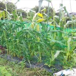 トウモロコシ第2畝 収穫開始(7/16)