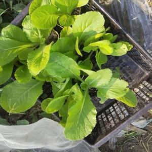白菜 第3畝の植え付け(9/24)