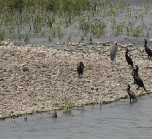 【雑記】コロナなどどこ吹く風?多摩川の野鳥たち(2020.07.12)