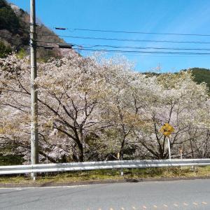 山の🌸が咲きだしました~(^。^;)~おそっ~💦