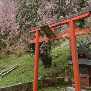 山の枝垂桜は満開です~(*´∇`*)🌸🌸🌸🌸🌸