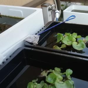 メダカ飼育用容器「発泡スチロール箱」を無料で(安く)手に入れる方法