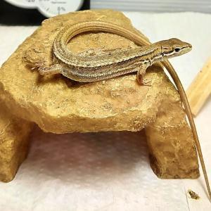 爬虫類用シェルターのおすすめ!スドー「ロックシェルターSP」