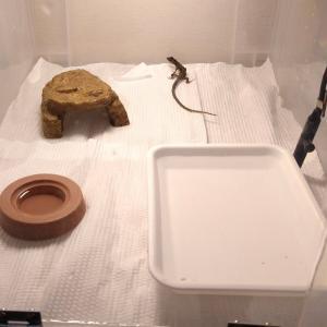 ニホンカナヘビの床材変更。