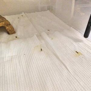 ニホンカナヘビの床材交換。