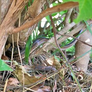 カワイイシマヘビ。