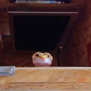 ヒョウモントカゲモドキの空腹時の行動。