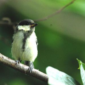 2816.  シジュウカラの幼鳥
