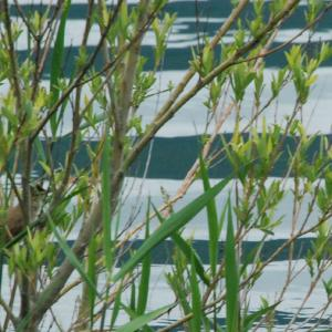 2821.  【野鳥】 オオヨシキリ
