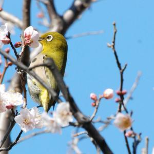 3040.  【野鳥】 メジロ & 梅と桜