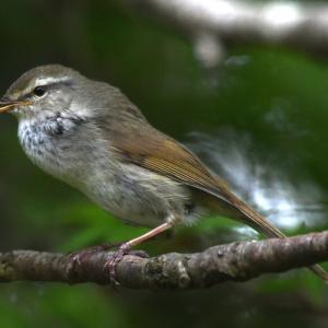 3043.  【野鳥】 ウグイス(オス)