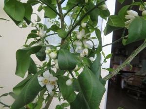 今年の柚子は、今までになく沢山の蕾と花を咲かせています。そして改めて感じた夫の存在。