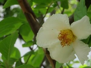 6月の花:夏椿、紫陽花、クチナシ、琉球朝顔。 そして嬉しかったJEF友からのメール。