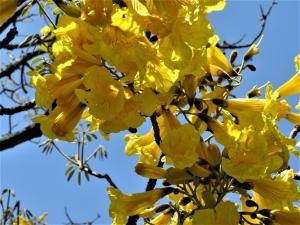 待ちに待ったゴールデントランペットツリーの花。それから、千葉市もコロナワクチン接種が始まりましたが、予約一般不可が多くて・・・