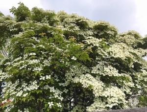 アナベル、アガパンサス、ヤマボウシ、ラベンダー、合歓の花