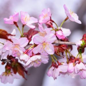 特別企画 ── 春愁落とし「桜の短歌大会」をやってみる