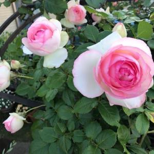 薔薇が咲いたので、気まぐれに戻ってきました