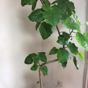 【自分で増やせる?】お洒落な観葉植物を育てる