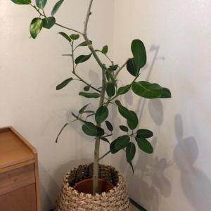 大人気な部屋に欲しい観葉植物