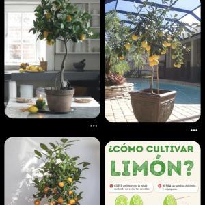 レモンの木が欲しい!!