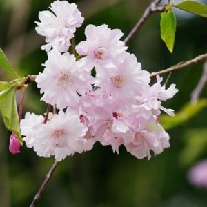 たぶん今年最後の桜・・・かな?
