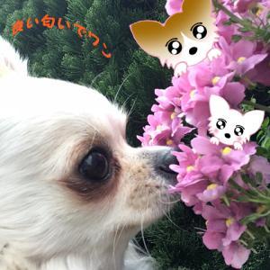 僕の散歩道では、お花がいっぱーいです