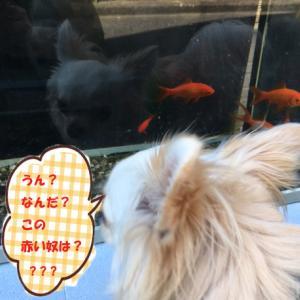金魚に遭遇・・・( ゚Д゚)
