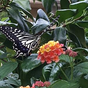 僕の散歩道で、アゲハチョウが!